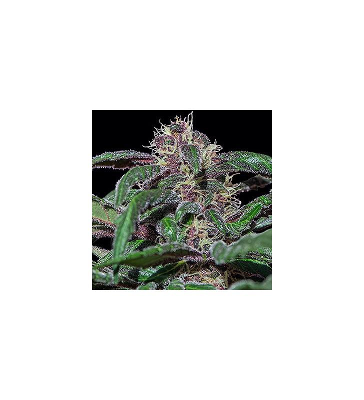 Ayahuasca Purple 95%...
