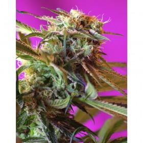 Wild Rose 65% sativa, 3...