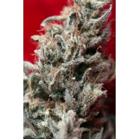 O´HAZE RED 1SEM. REGGAE SEEDS