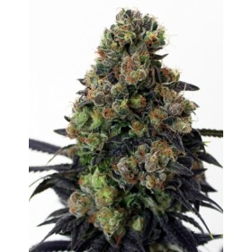 ACID DOUGH 1SEM. RIPPER SEEDS