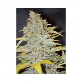 Furious Candy 70% indica, 3...