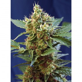 Cream Mandarine XL 63,4%...