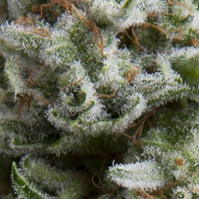 Anesthesia 70% indica, 1...