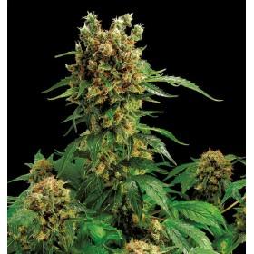 CALIFORNIA HASH PLANT 1SEM....