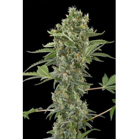 Moby Dick 70% sativa, 3...