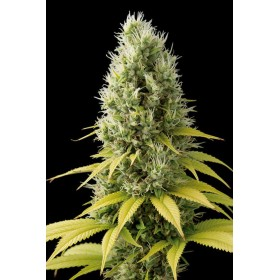 Shark Shock CBD 80% indica,...