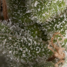 Fresh Candy 75% indica, 1...