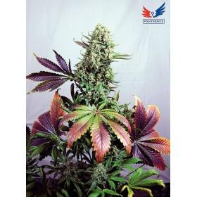 Purple Haze 80% sativa 1...